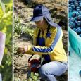 Se necesita contratar 150 personas de la comuna de Galvarino (Rural o urbano) para trabajar en la cosecha de Arándanos para esta temporada, en reconocida […]